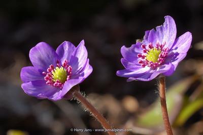 Hepatica nobilis v. japonica (paarse meeldraden)