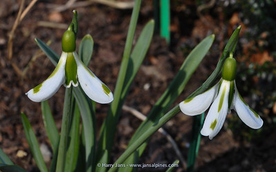 Galanthus plicatus 'South Hayes'