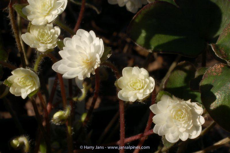 Hepatica nobilis v. japonica White Plena (E.W 2004)