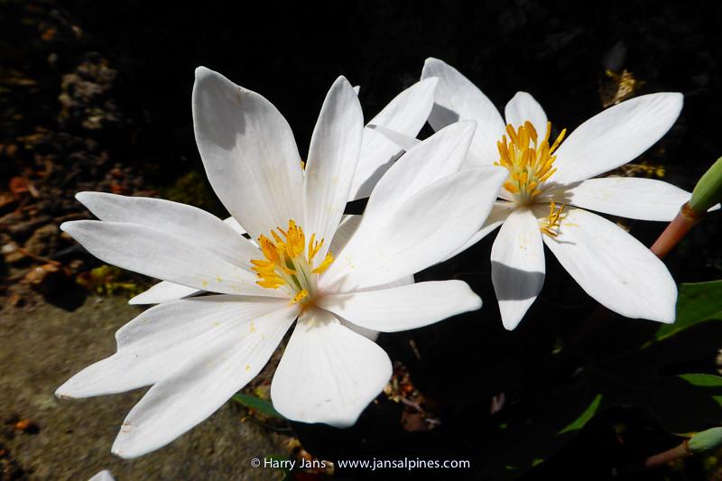 Sanguinaria canadensis 'Amy'