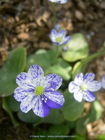 Hepatica nobilis 'Prickel'