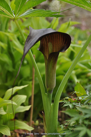 Arisaema ciliatum var. liubaense (dark form)