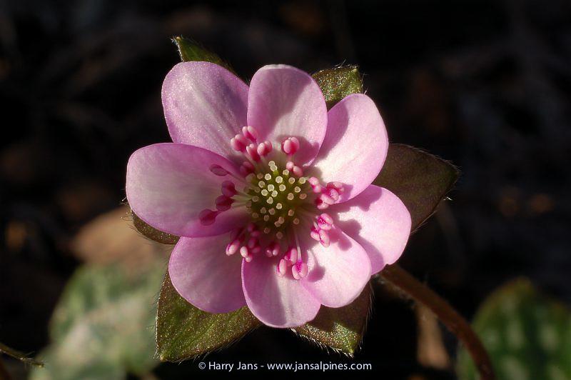 Hepatica nobilis (Christie 103, 2006)