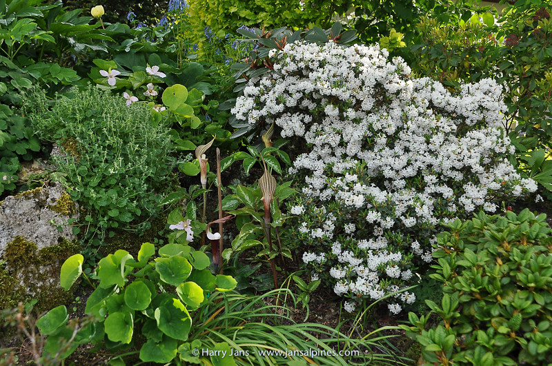 Rhododendron cephalantum ssp cephalantum