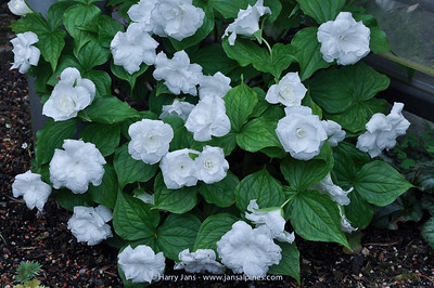 Trillium grandiflorum (flora plena, Got.Bot) ?