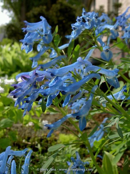 Corydalis 'Kingfisher' (flexuosa x cashmeriana)