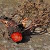 Sanguinaria canadensis roor