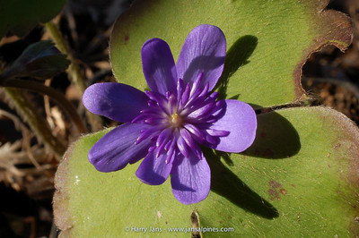 Hepatica transsylvanica 'Ellison Spence'