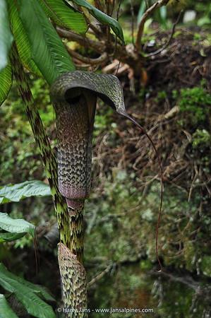Arisaema, taiwanense f. cinereum