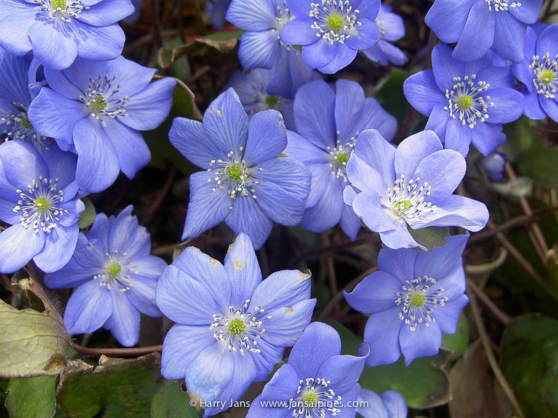 Hepatica transylvanica 'Blue Jewel'