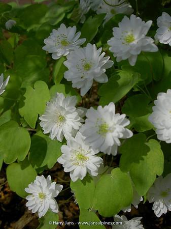 Anemonella thalictrioides 'Semi Double White'