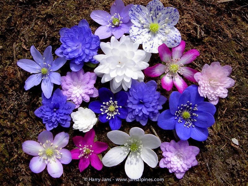 Hepatica nobilis (variation of garden plants)