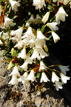Rhododendron 'Egret' (campyl. x racemosum 'White Lace')