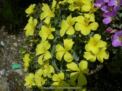 Linum campanulatum