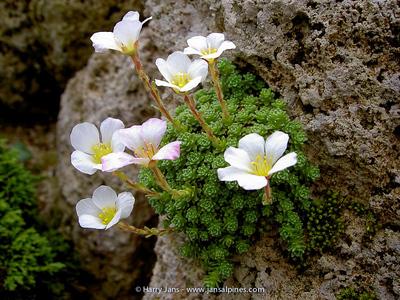 Saxifraga tombeanensis