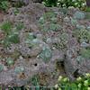 planted large tufa rock, incl. many Saxifraga longifolia