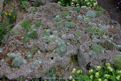planted large tufa rock, incl. many Saxifraga longifolia
