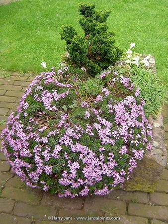 Daphne arbuscula