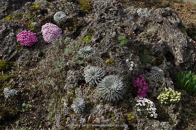 Saxifraga (Kabschia) + Saxifraga longifolia (seedlings)