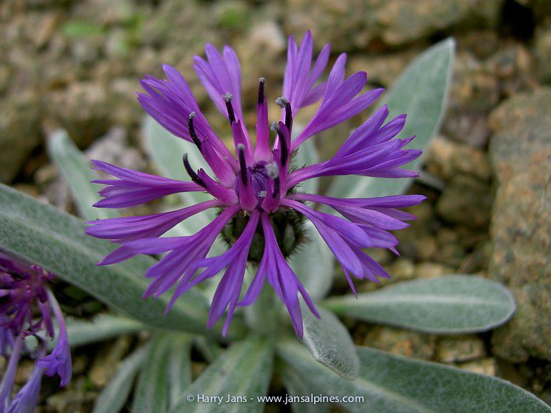 Centaurea achterovii