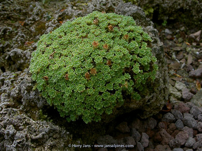 Saxifraga hypostoma (or hybrid ?)