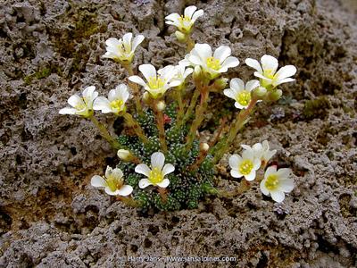 Saxifraga x mahlbyana 'Primulina'