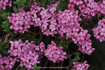 Daphne cneorum 'Moravia Form'