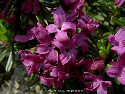 Daphne arbuscula 'Libussa'