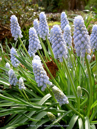 Muscari 'Baby Breth'