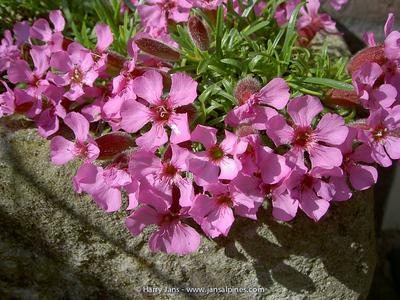 Saponaria 'Boranovice' (org O.Vlasak) (pumilio x 'Bressingham Pink')