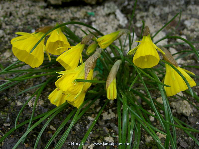 Narcissus obesus