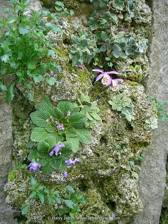 Pleione limprichtii & Jancaea heldreichii & x Jankaemonda vandedemii