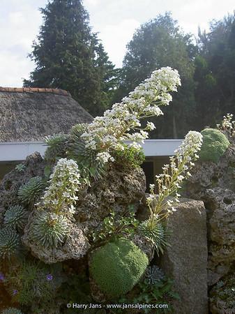 Tufa Wall, Saxifaga longifolia