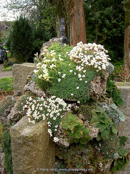 Saxifraga seedling (on Tufa Column)