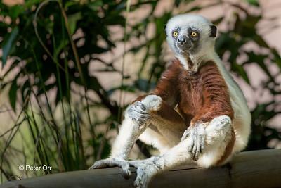 Verreaux's Sifake, Madagascar