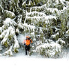 Senior man getting snow shower moving through spruce trees
