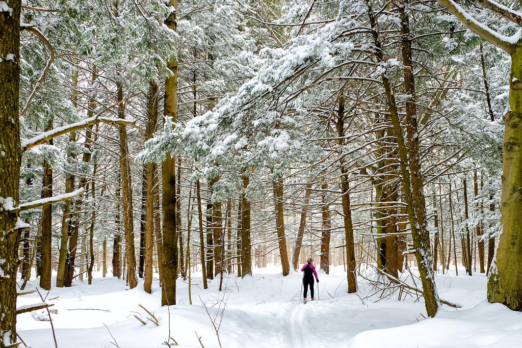 Skiing through a mature hemlock grove