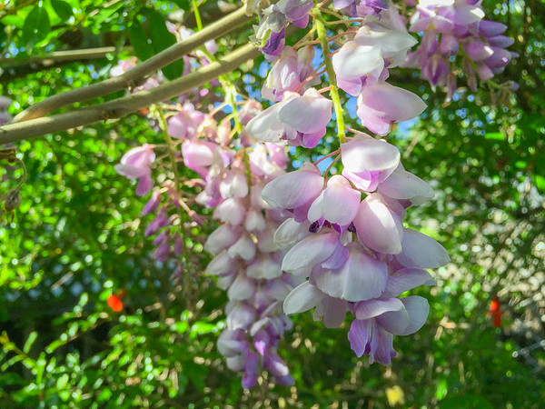 The spring wisteria in my backyard