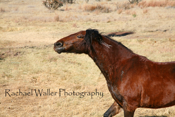 Mustang guarding her herd<br /> Rachael Waller Photography