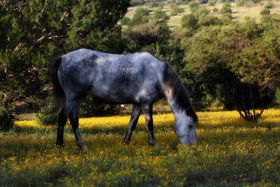 Wild horse Lazarus in the wild flowers