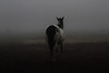 Noqah waits for the herd in the fog. <br /> Rachael Waller Photography