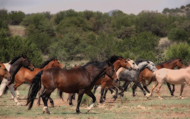 Firelight South herd on the move<br /> Rachael Waller Photography<br /> Alpine Texas