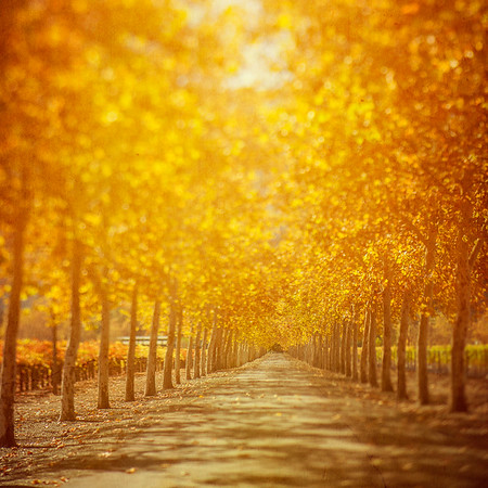 Warm glow through trees and vineyards in Napa Valley California