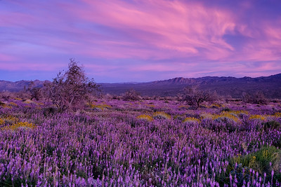 Sunset and wildflowers at Joshua Tree National Park California