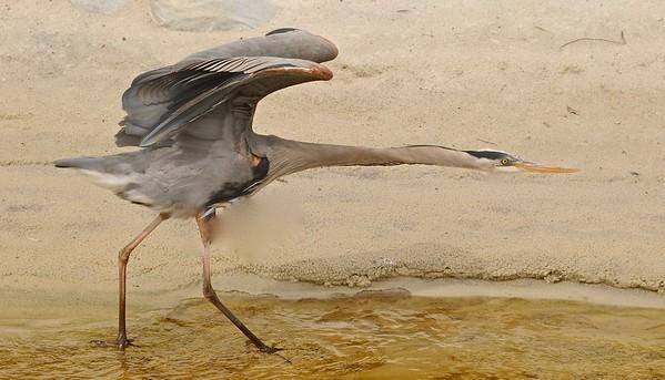 Great Blue Heron, Florida