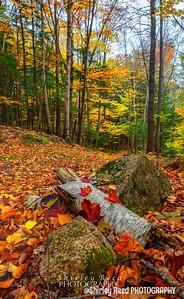 Red Maple on Fallen Birch