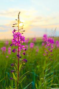 Alaska's Fireweed