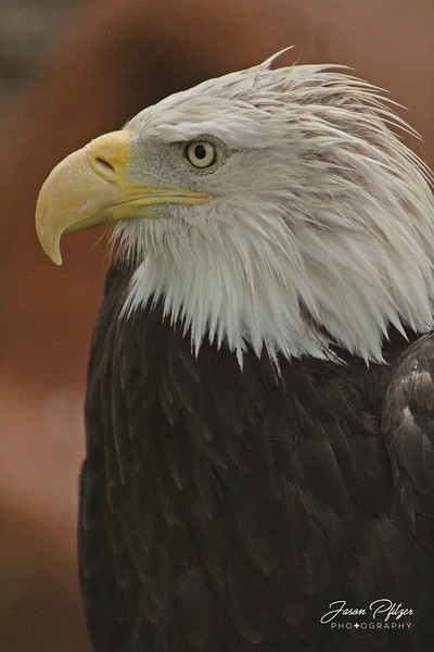Bald eagle found at Reptile Garden in the Black Hills of South Dakota. Enjoy and hold hands.