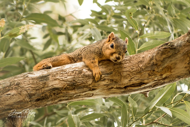 Friendly squirrel playing in the tree in Brookings, South Dakota. Enjoy and hold hands.