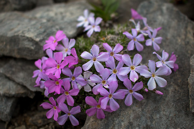 These purple and pink flowers can be found growing everywhere on the Seward Peninsula--even peeking through rocks.
